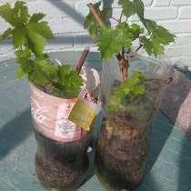 Продам укоренившиеся чебуки винограда Приображение и оригина, в г.Рубежное