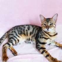 Бенгальский котенок Ф1, в Москве