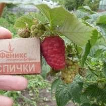 Саженцы малины крупноплодной, в Краснодаре