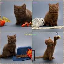 Питомник британских кошек. Продажа котят, в Владивостоке