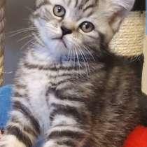 SCOTTISH kittens, в г.Ashville