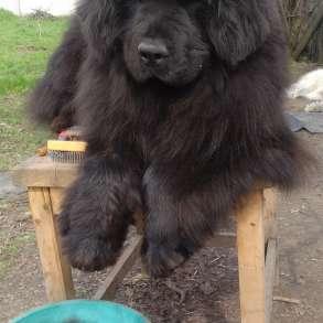 Продам вычес (шерсть, пух) собак породы ньюфаундленд, в г.Запорожье
