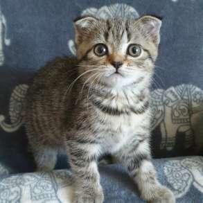 Котята Scottish straight и Scottish fold, в г.Даугавпилс