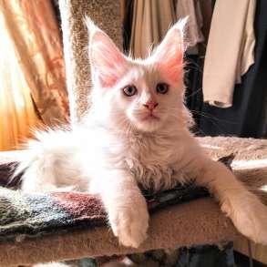 Мейн Кун белые котята мальчики, в Москве