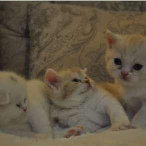 Шотландские котята редкого окраса, в Мурманске