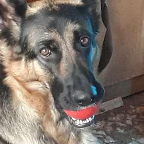 Продам щенков немецкой овчарки, в Кемерове
