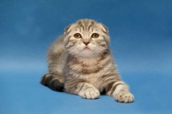 Шотландские котята вискасного окраса