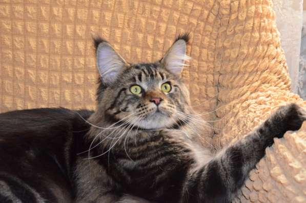 Породистые котята в Кисловодске фото 5