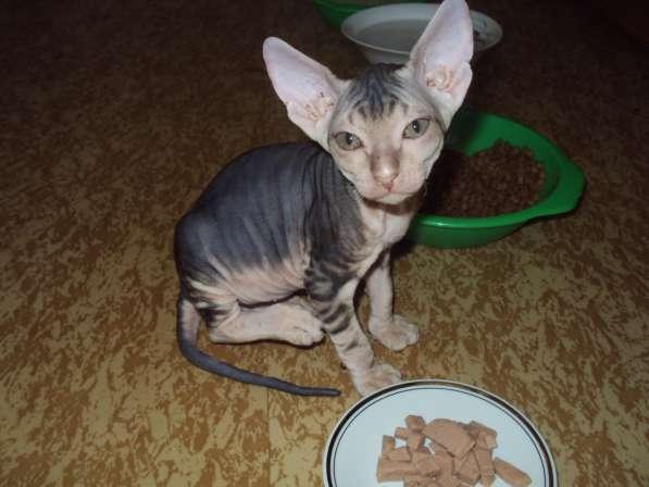 Котята донского сфинкса в Железногорске фото 5
