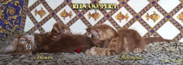 Котёнок менй кун красный солид. Шоу класс в Перми фото 9
