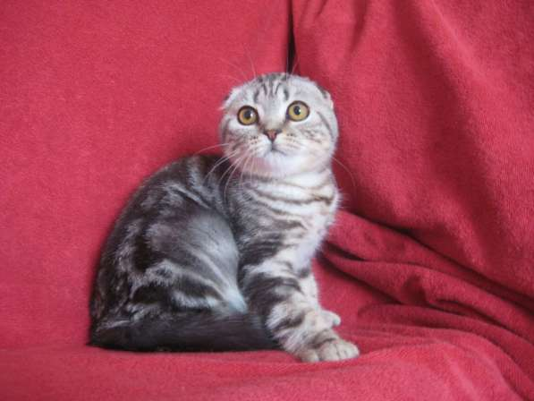 Кошечка серебристая мраморная (№ 2)