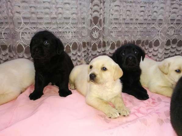 Великолепные щенки лабрадора в Ростове-на-Дону фото 7