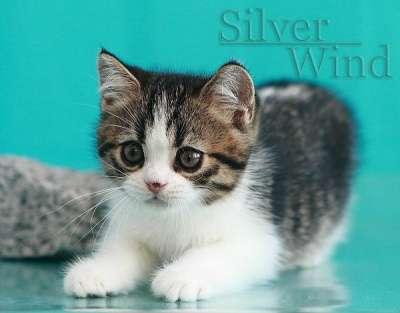 Котик - скоттиш страйт
