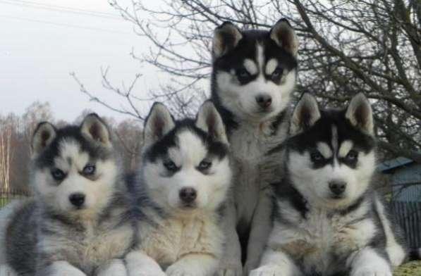 Шикарные щенки сибирской хаски