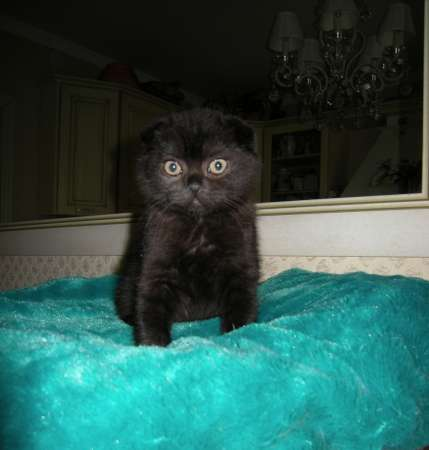 Продается черный вислоухий котенок