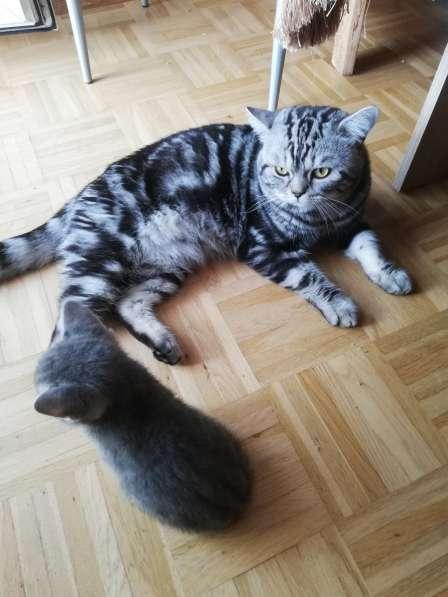 3 Britische Kätzchen auf der Suche nach einer Familie в фото 4