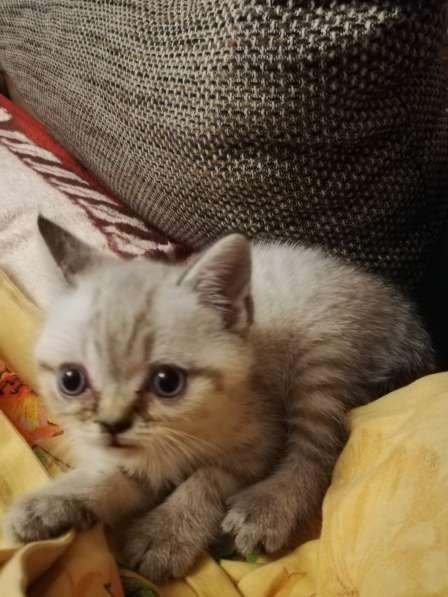 3 Britische Kätzchen auf der Suche nach einer Familie