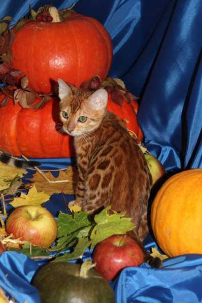 Бенгальский котик в огненно красной шубке