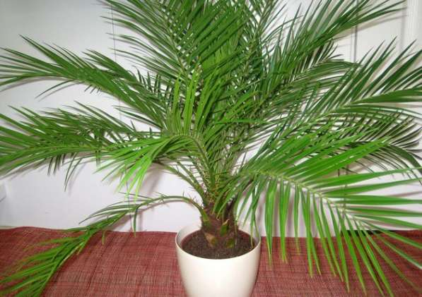 Комнатная пальма финиковая 15 лет