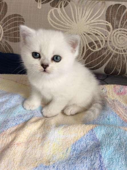 Британский котенок шоу класса серебристая шиншилла