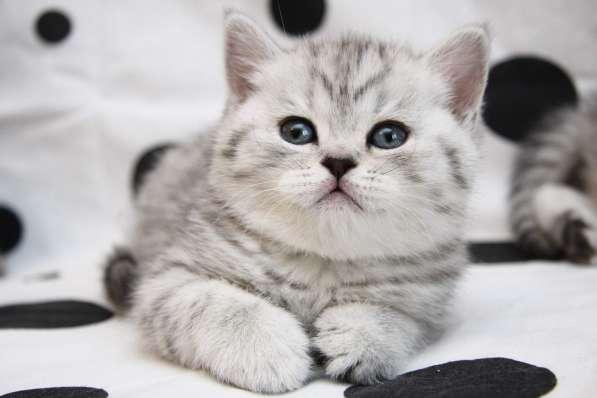 Снежный барс котик и кошечка пятно на серебре, вискас