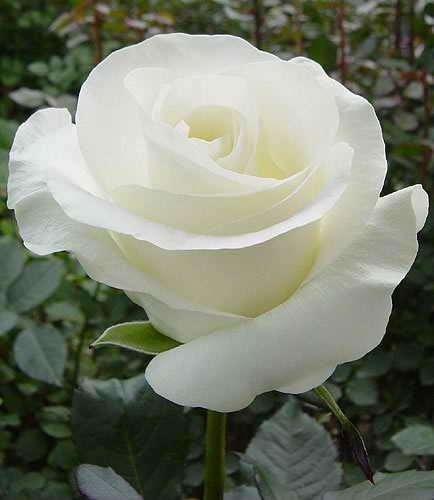 Срез для букетов (розы) в Ростове-на-Дону фото 7