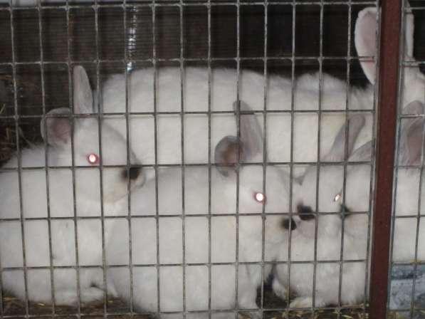 Породистые кролики на завод
