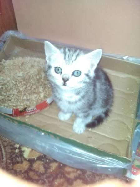 Продаются британские котятки!!! в Самаре