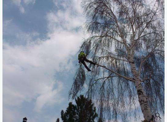 Спил, снос, удаление аварийных деревьев в Новосибирске фото 4