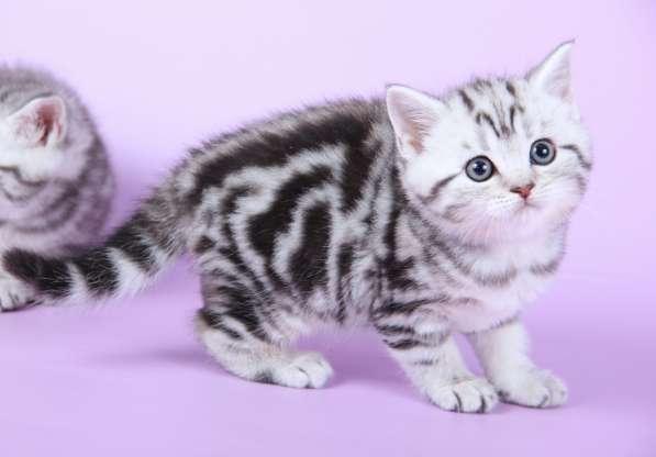 Шикарная мраморная кошечка и котик