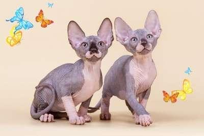 Упитанные и воспитанные котята-сфинкс