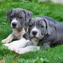 Продаются голубые, рыжие, чёрные щенки американского стаффа, в г.Гомель
