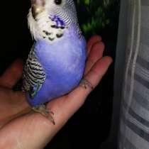 Волнистые попугаи Чехи-Птенцы, в Мытищи