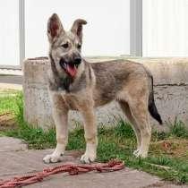Очаровательный щенок Барни, хочу быть овчаркой,в добрые руки, в г.Москва