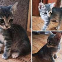 Серый котёнок, в г.Краснодар