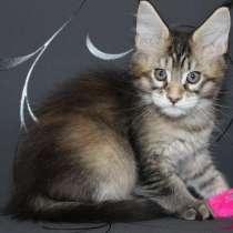 Тикированные котята Мейн Кун, в Калининграде