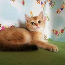 Котик золотая шиншилла, в Казани