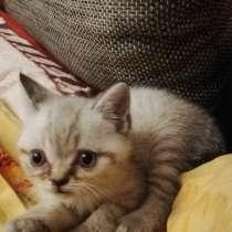 3 Britische Kätzchen auf der Suche nach einer Familie, в г.Франкфурт-на-Майне