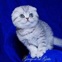 Вислоухий плюшевый серебристый клубный котик, в г.Москва
