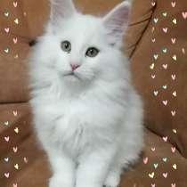 Maine Coon kitten, в г.Firenzuola