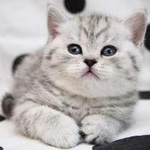 Снежный барс котик и кошечка пятно на серебре, вискас, в г.Санкт-Петербург