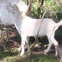 Молодой козел, в Москве