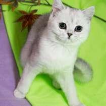 Чистокровная шотландские кошечка драгоценного окраса!, в Уфе