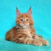 Котик мейн-кун из питомника, в Рязани