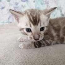 Snow Bengal cat, в г.Нюмбрехт