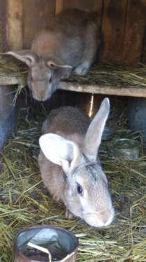 Кролики, цыплята, в г.Находка