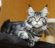 Продам котенка Мейн кун, в Томилино