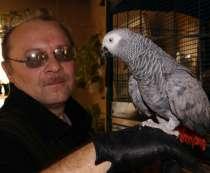 Серый попугай. Жако краснохвостый, в Москве