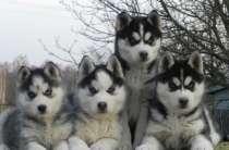 Шикарные щенки сибирской хаски, в Нижневартовске