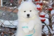 Снежные звёздочки - щенки самоеда, в Екатеринбурге